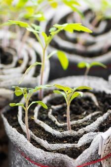 トマトの苗。プラスチック細胞の若い植物、有機園芸