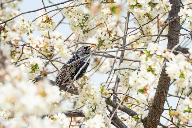 Обыкновенный скворец сидит на цветущем дереве.