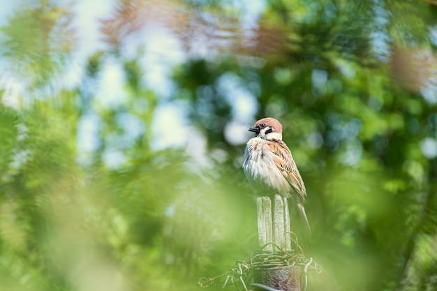 春の庭で古い木製のフェンスの上に座って面白い小さなスズメ