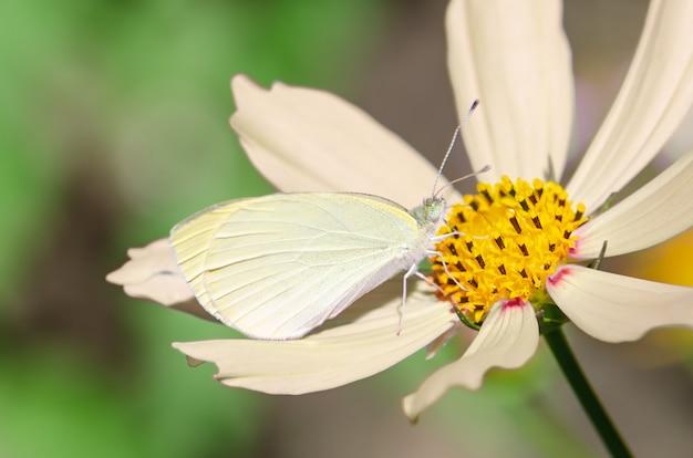 ベージュの花の小さな白い蝶