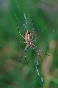 黄色と黒のストライプのクモ。コガネグモ。