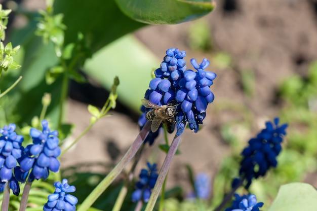 Медоносная пчела собирает пыльцу с маленьких голубых цветов