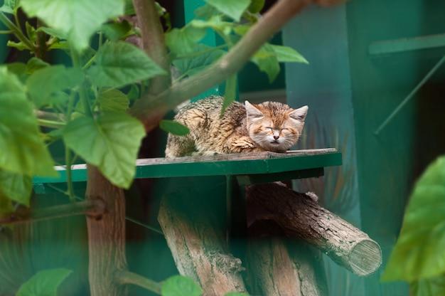 Маленький дикий кот спит в зоопарке