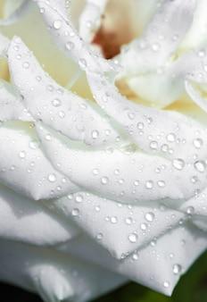 白いバラの花に水滴します。