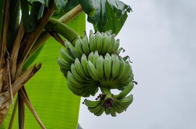 Ветка с бананами