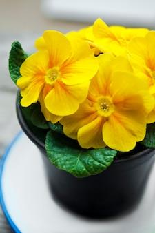Желтый первоцвет в черном вазоне.