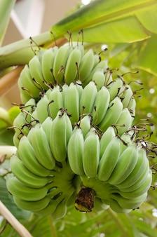 Большая ветка с зелеными бананами