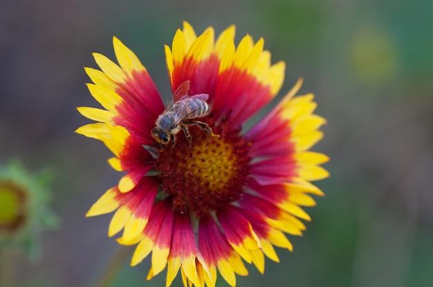 夏の単一のデイジーの花とミツバチ