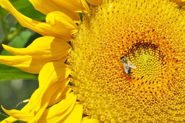 昆虫のスズメバチとヒマワリの花のクローズアップ