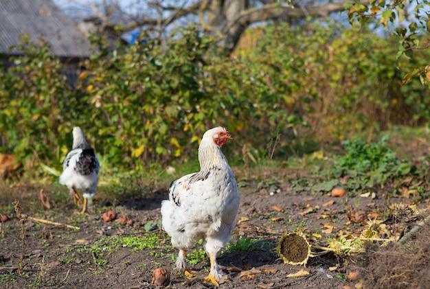 Курица гуляет в саду. открытие воздуха. сад.