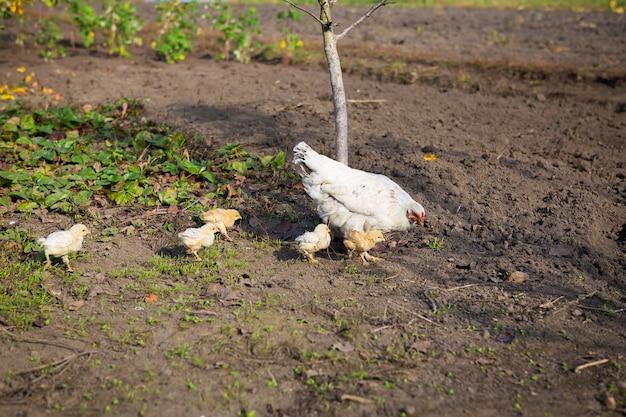 Цыпленок гуляет с маленькими цыплятами в саду.