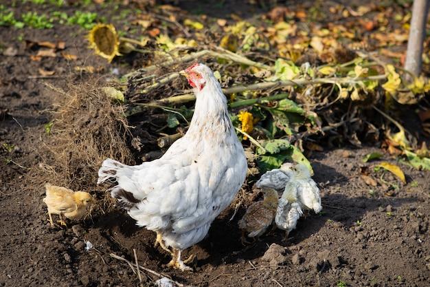 Курица с цыплятами сидит на земле в саду в деревне. крупный план.