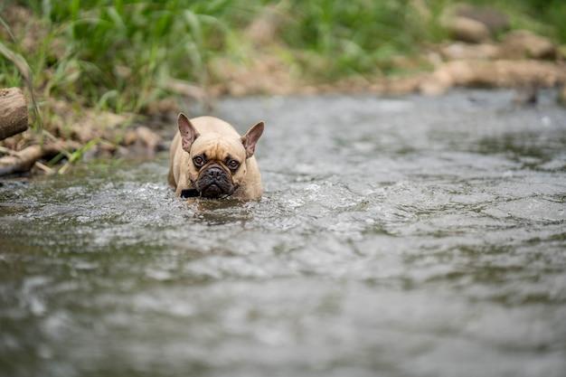 Милый французский бульдог, идущий в потоке