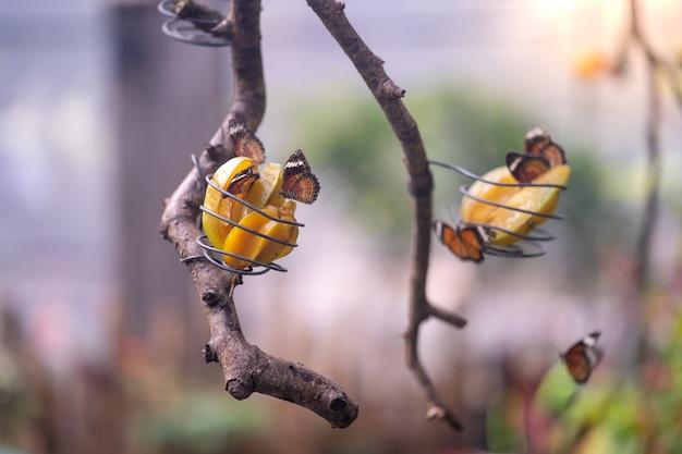 Красивые бабочки едят звездные фрукты на ветвях деревьев
