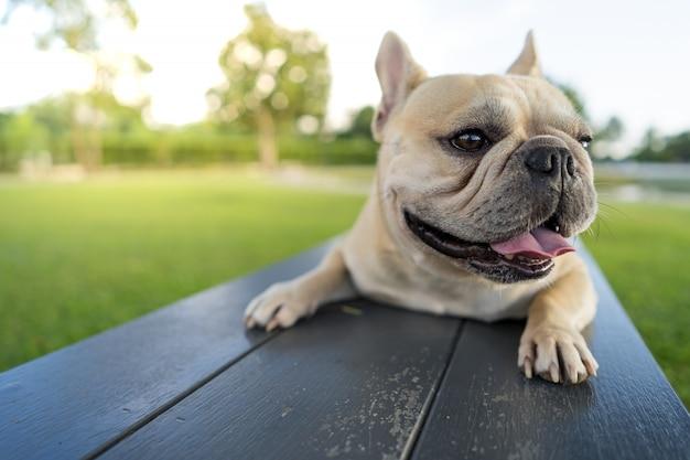 Милый французский бульдог, лежа на деревянном стуле в парке