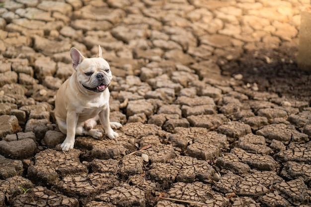 Милый французский бульдог сидя на сухой треснутой земле на пруде в лете.