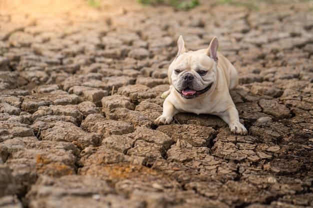Милый французский бульдог лежа на сухой треснутой земле на пруде в лете.