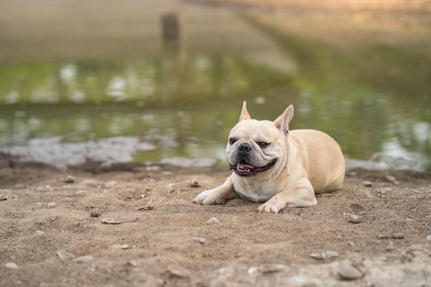 Милый французский бульдог лежа на сухой земле против предпосылки пруда.