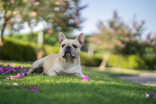 庭のバウヒニアパープレアツリーの下の草の上に横たわるかわいいフレンチブルドッグ。