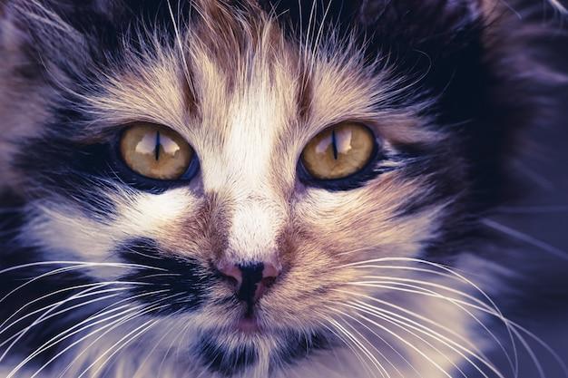 猫の顔のクローズアップ。動物相。ペットとライフスタイルのコンセプト