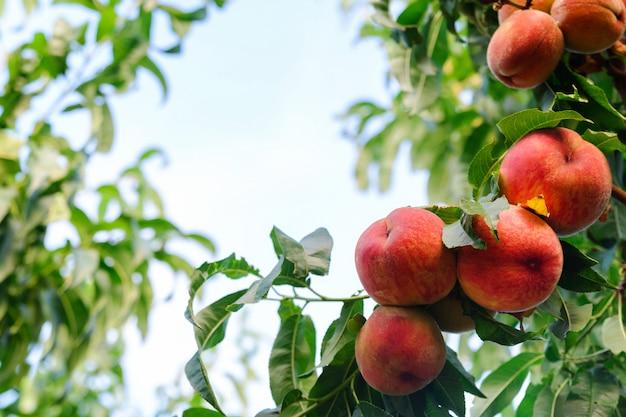 庭の熟した、ジューシーな桃