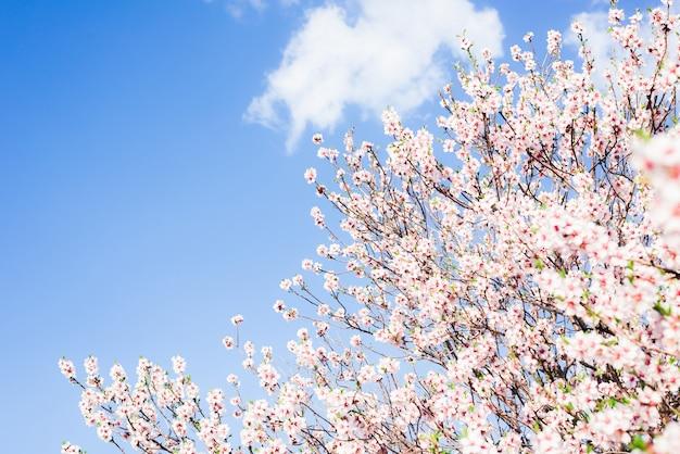 Цветение миндаля весной