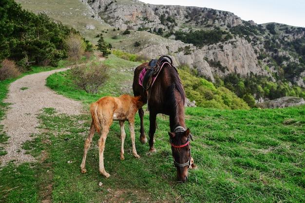 子馬は牧草地で母馬の乳房を吸う