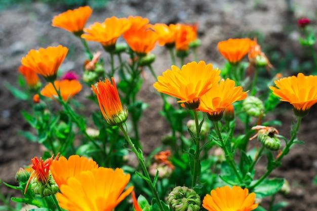 Цветки календулы в саду