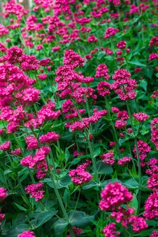 庭の赤いバレリアン