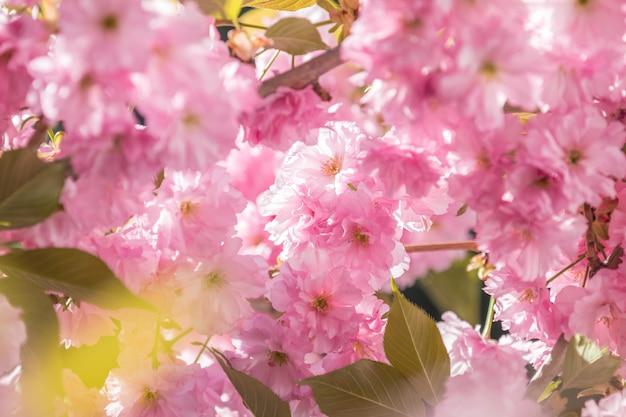 Крупным планом розового цветения вишни ветви сакуры, в весенний сезон