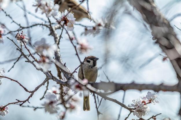 白いアプリコットの木の花の枝にスズメ