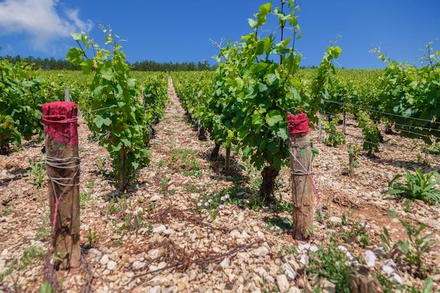 Плантация красивых винных веток винограда