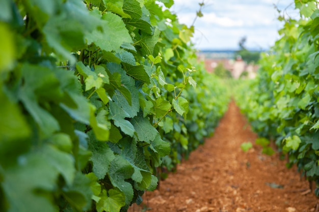Виноградник живописный пейзаж
