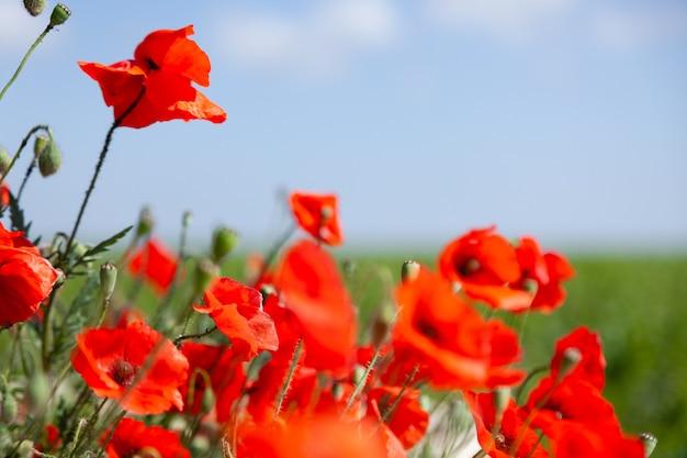 赤い咲くポピーの花の美しい夏の畑