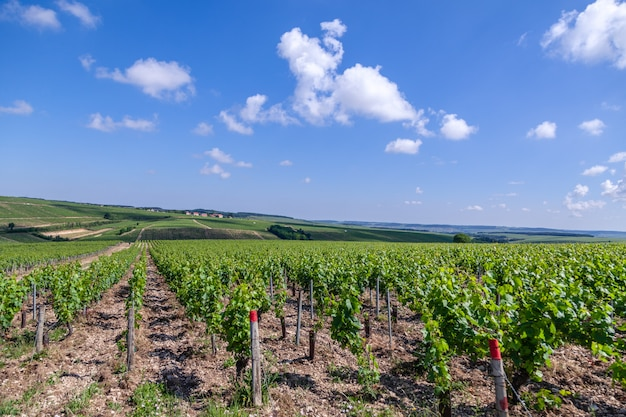Летний виноградник живописный пейзаж, плантация, красивые виноградные ветви вина