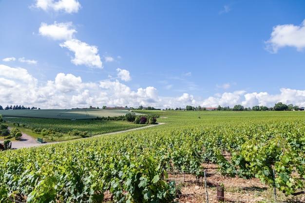 Ряды виноградников в солнечный день