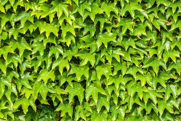 自然な緑の葉の壁