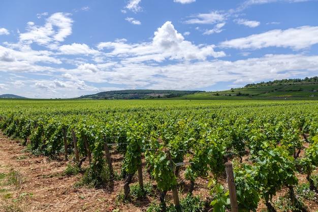 Съемка крупного плана панорамная гребет ландшафт виноградника лета сценарный, плантацию, красивые ветви виноградины вина, солнце, землю известняка. осенний урожай винограда, природа сельское хозяйство