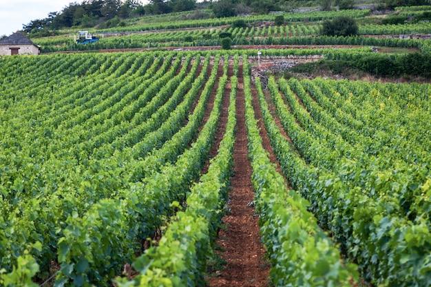 クローズアップパノラマショット行夏のブドウ畑の風光明媚な風景、プランテーション、美しいワインブドウの枝、太陽、石灰岩の土地。秋のブドウ収穫、自然農業