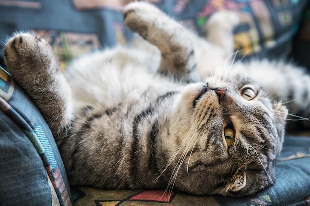 横になっているスコティッシュフォールド猫