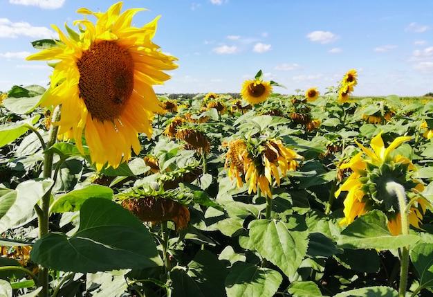 夏の日にひまわり畑