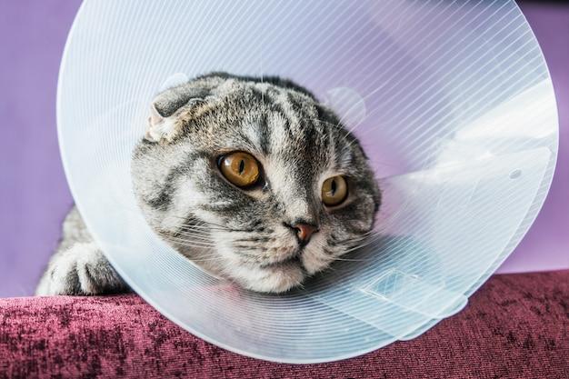 Больной шотландский кот в пластиковом защитном ошейнике