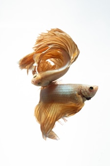 シャムの戦いの魚のベタの動きの白い背景の上のイエローゴールド色