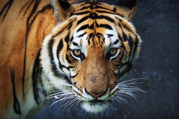 Тигр смотрит прямо вперед