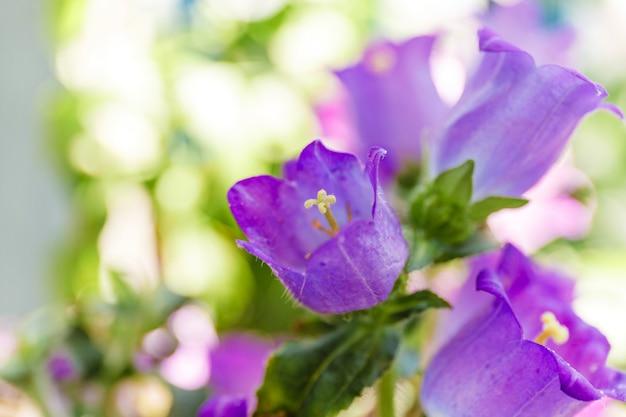 明るい背景のバルコニーに紫のホタルブクロの花。