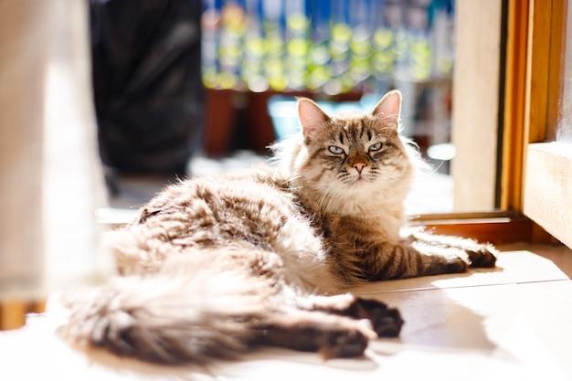 Красивый длинношерстный кот с голубыми глазами сидит на балконе и загорает