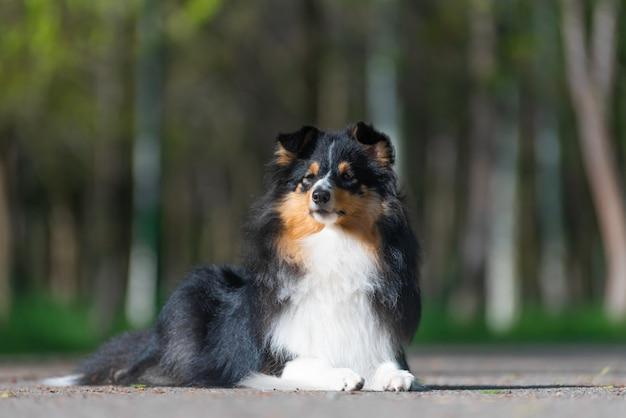 美しいシェルティースコットランドの牧羊犬は公園で散歩し、犬の訓練のスタントを実行します