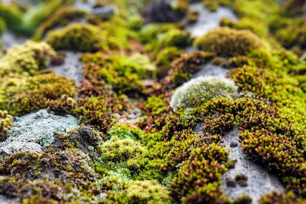 雨上がりの緑の苔で覆われた古いスレート屋根のクローズアップ