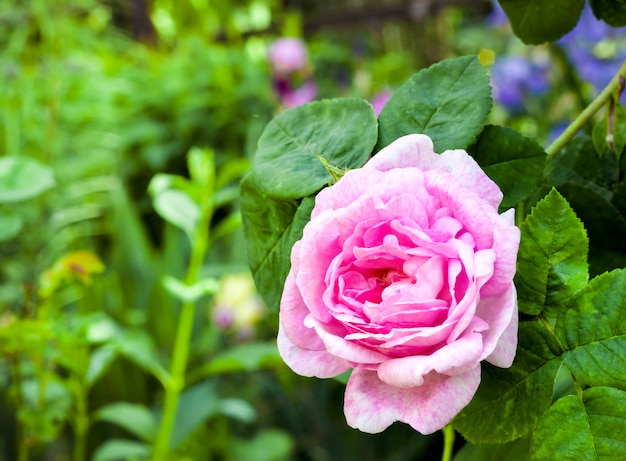 緑の庭の表面にローザセンティフォリア(ローズデペイントレス)花のクローズアップ