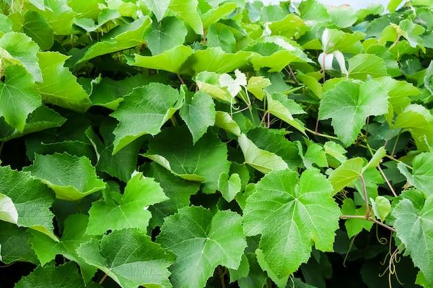 Виноградные листья крупным планом